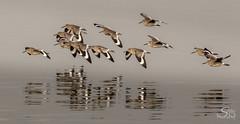If I Had Wings (Selkii's Photos) Tags: bayfrontpark birds california canon100400mm canon7dmarkii catoptrophorussemipalmatus flight millbrae willet burlingame unitedstates us