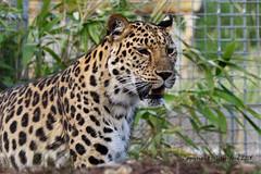 Female Leopard (Holfo) Tags: bigcats cats d750 jessops nikon rescuecentre zoo leopard female alert aware animal