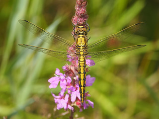 Orthetrum cancellatum - 105mm Macro