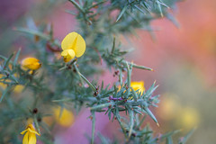 Winter Color (- A N D R E W -) Tags: jupiter8m 50mm f2 vintage old viejo manual focus nature naturaleza gorse color colorful vibrant winter invierno sony ilce7rm2 a7rii a7rm2 mirrorless flor flores red rojo green verde orange naranja dof depth bokeh alpha plant plants colours