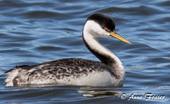 Western Grebe (Anne Marie Fraser) Tags: water bird animal lake grebe westerngrebe western colorado nature wildlife