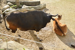 Chester Zoo Islands (446) (rs1979) Tags: chesterzoo zoo chester islands banteng