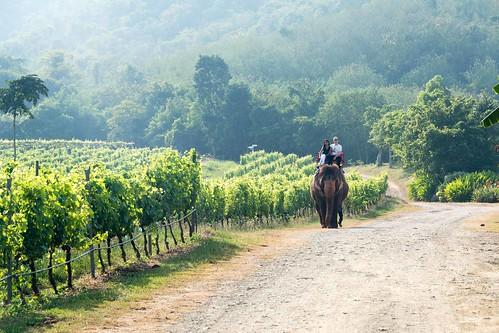 Elephant at the vineyards
