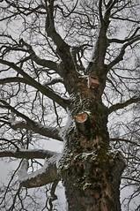 An der wettergeschützen Seite (Uli He - Fotofee) Tags: ulrike ulrikehe uli ulihe ulrikehergert hergert nikon nikond90 fotofee gersfeld rhön hessischerhön hessen winter schnee januar nebel pferd entlaufen ausgebüchst tierpark bäume wolken simmelsberg skipiste