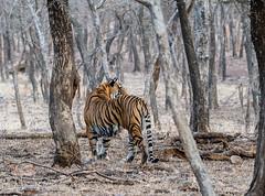 tigre (barragan1941) Tags: fauna felinos india mamiferos ranthamhore tigres