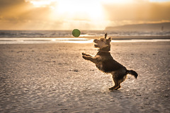 Play time! (Nathan J Hammonds) Tags: dog welsh terrier play time beach sea sunset ball backlight sand rays sun jump doggy pet nikon d750 camber sands east sussex uk england water photography