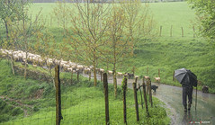 Bajo la lluvia (Jabi Artaraz) Tags: jabiartaraz jartaraz zb euskoflickr aurelio pastor artzaina artaldea corderos ovejas sheep rebaño nature