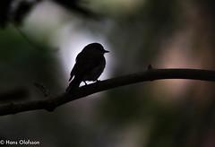 African Dusky Flycatcher   (Muscicapa adusta) (Hans Olofsson) Tags: africa bird duskyflycather fågel kleimond natur nature southafrica sydafrika muscicapaadusta haroldporterbotanicalgarden westerncape contrast