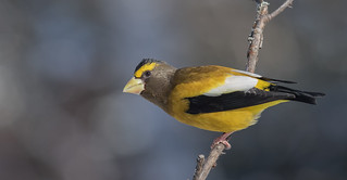 Gros-Bec Errant (mâle)  -  Evening Grosbeak