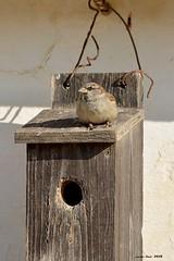 Unifamiliar con terraza (Enllasez - Enric LLaó) Tags: aves aus bird ocells pájaros 2018 deltadelebre deltadelebro delta rietvell cajasnido conceptphoto