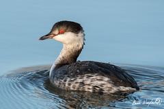 Horned Grebe (Bruce Wunderlich) Tags: yellow red eye horned grebe water bird lake logan life burce wunderlich nikon d500 tamron 150600 g2