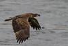 Bald Eagle (coomare) Tags: conowingodam maryland baldeagle eagle
