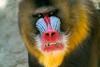 untitled shoot-094.jpg (andrespeelmans) Tags: mandrill snout primate mammal