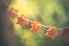 Orange peel stars garland (Ro Cafe) Tags: citrus mm macro macromondays stars orange peels garland garden outdoors green bokeh naturallight nikond600