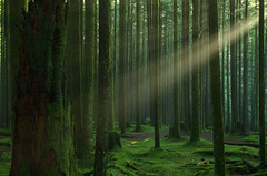 A single beam. (Kristian Francke) Tags: forest outdoors nature green pentax tree trees bc canada british columbia landscape wilderness moss