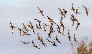 Flight Of Black-Tailed Godwits