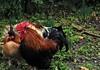 (Silvia Aguado Montero) Tags: animal grass cockerel rooster black brown red male rain fauna eco wildlife park