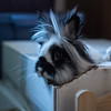 Captain of the Hay Box (Jesse&Lisa) Tags: ophelia bunny rabbit lionhead