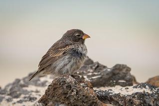 Small Ground Finch - Female 500_4726.jpg