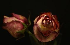 Rosas explorando, sobre monitor apagado. Sin tripode, con iluminacion continua. (angelalonso4) Tags: canon 6d tamron 70300 me flor rosa flower red rojo home explore explorar macro makro macromondays bockeh pink 7dwf dof ef españa flowers di 300