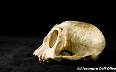 Simien_DSC0682 (achrntatrps) Tags: crânes skulls bones os animals nikkor d800 pce45mmf28 alexandredellolivo suisse lachauxdefonds lycéeblaisecendrars collection sb900 sb800 achrntatrps achrnt atrps photographe photographer flash