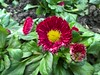 WP_20171205_10_59_05_Pro (vale 83) Tags: bellis friends coloursplosion colourartaward microsoft lumia 550