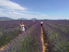 Champs de lavande (albertlecuistot) Tags: sud south violet purple french france field lavender aixenprovence champs lavande naturel fillette provence tourisme