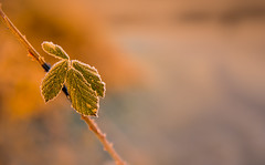 Frosty Morning (Peter Quinn1) Tags: bramble frost whistonmeadows bluemansbower rotherham southyorkshire winter january leaf bokeh