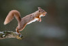 "The jump... (coopsphotomad) Tags: ""red squirrel"" mammal animal wildlife nature native wild bokeh canon 500mm f4 is handheld outdoor woodland dof red branch jump leap highiso timing"