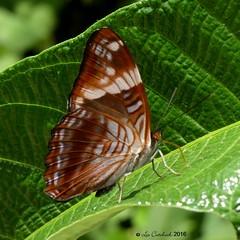 Adelpha boeas (LPJC) Tags: quitacalzones manuroad manu peru 2016 lpjc butterfly adelphaboeas
