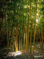 Bamboo (Massimo Saviotti) Tags: flickr awesome camera dmcg6 lumix lumixgvario14140 mft massimosaviotti microfourthird mirrorless panasonic saviottimassimophotography antico antiquities archeologia archeologic backlight beautiful bello best bestphoto bestshot bombomachides controluce fantastic fantastico fineart foglia foglie good great historic history leaf leaves magnifico natura nature pianta piante plant plants storia storico
