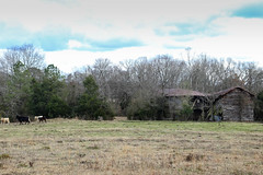 Barn & cows - Belton, S.C. (DT's Photo Site - Anderson S.C.) Tags: canon 6d 24105mml lens greenville southcarolina upstate rural country roads barn building shed rustic vanishing vintage pastoral disappearing antique southern scenic landscape fence pasture cows cattle southernlife america usa southeast decay abandoned