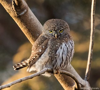 Northern Pygmy Owl Stare Down