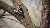 West-Highland-White-Terrier-auf-der-Schulter-tragender-Mittelspecht (diwan) Tags: germany deutschland sachsenanhalt saxonyanhalt magdeburg city stadt place rotehorn outdoor vogel bird mittelspecht dendrocoposmedius winterfütterung schärfentiefe bokeh google nikcollection plugins sharpenerpro3rawpresharpener viveza2 canonef70200mmf28lisusm canoneos5dmarkiv canon eos 2018 geotagged geo:lon=11644128 geo:lat=52111629