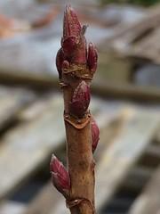 Blackcurrant Bush Buds (Dark Dwarf) Tags: buds bush blackcurrant 2018 allotment garden qvc
