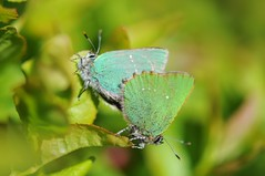 Green Hairstreaks (ni kon ninja) Tags: greenhairstreak callophrysrubi greenhairstreaks
