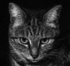 CSC_0026b Low Key Cat (laurentbourg07) Tags: nikon cat low key