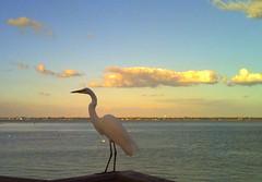 A Heron (brotherM) Tags: lores digitalharinezumi florida sarasota longboatkey bird clouds heron bay