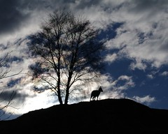 Evening goat (doodledog1) Tags: goat wildlifepark kincraig rzss scotland conservation evening silhouette