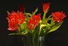 Tulpen (izoll) Tags: tulpen tulpe rotetulpen izoll sony alpha77ii blumen schnittblumen rot blüten roteblüten