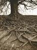 Roots of the Druids - print version (Mark Dries) Tags: markguitarphoto markdries hasselblad500cm distagon 50mmf40 ilfordfp4 rodinal fomatone mg 131 selenium 119 sepia
