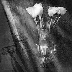 tulips in  window light (jd weiss) Tags: hasselblad500cm zeissmakroplanar120