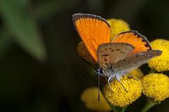 Most Orange Butterfly - TNY_1962 (Calle Söderberg) Tags: macro canon canon5dmkii canoneos5dmarkii canonef100mmf28usmmacro flash meike mk300 glassdiffusor butterfly fjäril guldvinge vitfläckigguldvinge copper scarcecopper tansy tanacetum vulgare lycaena virgaureae lycaenidae lycaeninae orange juvelvinge renfana yellow gossamerwingedbutterfly fuzzy hairy hair fuzz blackedge blackspots flower f13 ngc npc