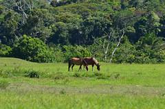 Two horses (Márcia Valle) Tags: bahia suldabahia brasil brazil summer márciavalle extremosuldabahia nikon d5100 colors cores cavalos horses pasto verde green animals