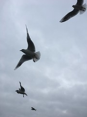 In flight! (s1ng0) Tags: iphone widnes food birds flying