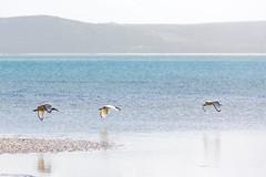 Ibis (davidthegray) Tags: bird ibis sudafrica westcoastnationalpark southafrica birds westcoastdc westerncape za