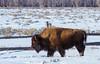 Bison, Alongside Highway 89, Moran, WY. (scepdoll) Tags: grandtetonnationalpark wyomingfindyourpark bison buffalo winter snow highway89 moran