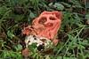 Clathrus ruber, le clathre rouge ou coeur de sorcière. (chug14) Tags: unlimitedphotos mushroom pilze fungus fungi clathraceae phallaceae clathrerouge coeurdesorcière lanternegrillagée clathruscancellatus clathregrillagé clathrusruber
