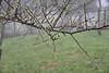 DSC_3729 (tsay.raymond) Tags: 柳家梅園 plumblossom