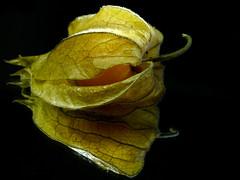 GoldenEye (BeMo52) Tags: auge eye flora food gelb gold grün jamesbond lebensmittel muster natur nature pysalis struktur textures kapstachelbeere peruanischeblasenkirsche fruit